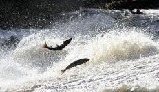 Eelmisel aastal valmis jõgede paisudel 27 uut kalapääsu. Tänu sellele saavad kalad vabalt liikuda oma looduslikele kude- ja kasvualadele, mis on vajalik kalade populatsiooni taastamiseks ja säilitamiseks.