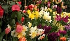 Sügis kuldab meid üle uhkete loodusvärvide ja maitsvate aiasaadustega. Vastutasuks nopib ta kõik meie kaunid lilleõied, jättes meid kuudeks igatsema kevade rõõmustavat ilu. Õnneks on Hortesesse saabunud üle 500 sordi talvekindlaid sibullilli: tulbid, lumikellukesed, nartsissid, hüatsindid, kirgaslilled, iirised, püvililled, liiliad, krookused ja paljud teised kingivad meile lihtsa vaevaga ühe imetabaselt kena ning õitsva kevade!