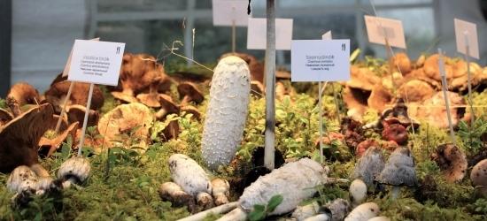 Kuni 23. septembrini on avatud Eesti Loodusmuuseumi seenenäitus