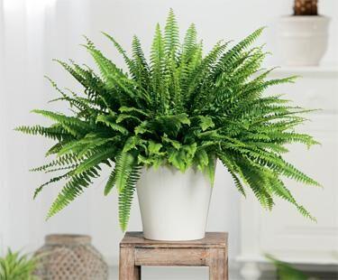 adf95688706 Õhuniiskuse suhtes nõudlikumate taimedega on küll kaval vannituba  dekoreerida (akna olemasolul), kuid elu-, magamistoa ja koridori taimed  vajavad samuti ...